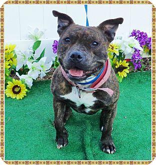 American Staffordshire Terrier Mix Dog for adoption in Marietta, Georgia - TURTLE