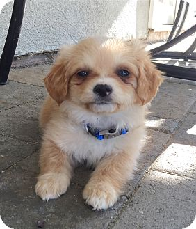 Shih Tzu/Beagle Mix Puppy for adoption in Brea, California - Desi