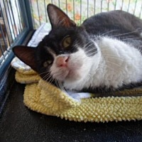 Domestic Shorthair Cat for adoption in Montello, Wisconsin - Neenci