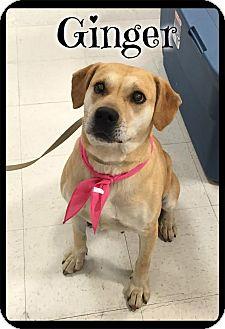 Labrador Retriever Mix Dog for adoption in Brattleboro, Vermont - Ginger (reduced fee)