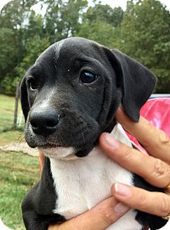 Labrador Retriever Mix Puppy for adoption in Portsmouth, New Hampshire - Cali-ADOPTION PENDING