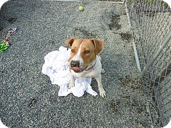 American Pit Bull Terrier Mix Dog for adoption in Barco, North Carolina - Nikki