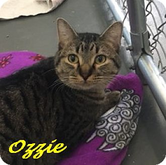Domestic Shorthair Cat for adoption in Chisholm, Minnesota - Ozzie