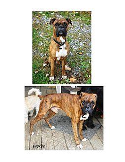 Boxer Dog for adoption in Winfield, Pennsylvania - Smokey