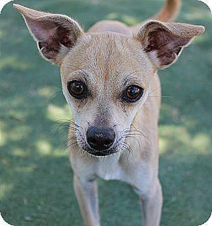 Chihuahua Mix Dog for adoption in Buckeye, Arizona - Juliet