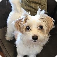 Adopt A Pet :: Noni - Los Angeles, CA