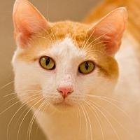 Adopt A Pet :: Sir Gilbert - Grayslake, IL
