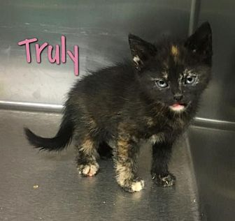 Domestic Shorthair Kitten for adoption in Harrisville, West Virginia - Truly