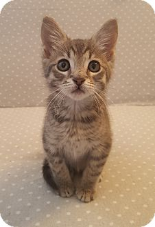 Domestic Shorthair Kitten for adoption in Germantown, Tennessee - Keane