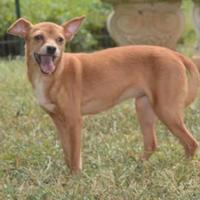 Adopt A Pet :: Nikki - Greensboro, NC