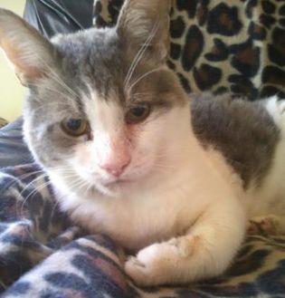 Domestic Shorthair/Domestic Shorthair Mix Cat for adoption in Amelia, Ohio - Buddy