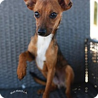 Adopt A Pet :: Cognac - Castaic, CA