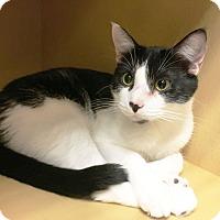 Adopt A Pet :: Bentley - Arlington/Ft Worth, TX