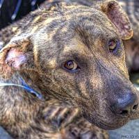 Adopt A Pet :: Tripp - Goodlettsville, TN