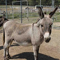 Adopt A Pet :: FIGARO - Union, MO