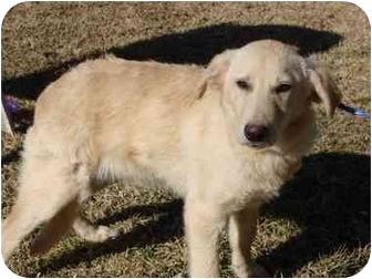 Labrador Retriever/Golden Retriever Mix Puppy for adoption in Hammonton, New Jersey - Alvin