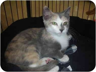 Calico Kitten for adoption in Naperville, Illinois - Porchia IS ADOPTED