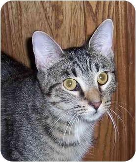 Domestic Shorthair Cat for adoption in Oklahoma City, Oklahoma - Uno