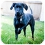 Photo 3 - Labrador Retriever/Chihuahua Mix Dog for adoption in West Richland, Washington - Dutch