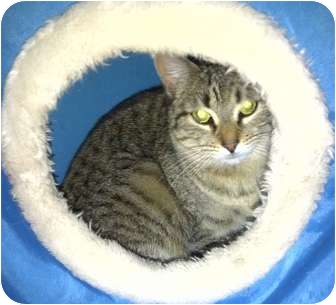 Domestic Shorthair Kitten for adoption in Medford, Massachusetts - Yatzee