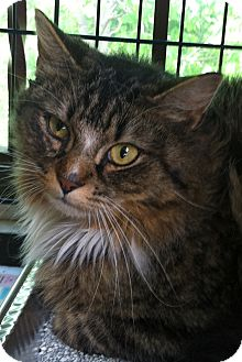 Domestic Longhair Cat for adoption in Medford, Massachusetts - Aslan