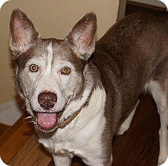 Siberian Husky Dog for adoption in Holly Springs, North Carolina - Margot Irene