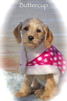Dachshund/Miniature Schnauzer Mix Puppy for adoption in Albany, New York - Buttercup