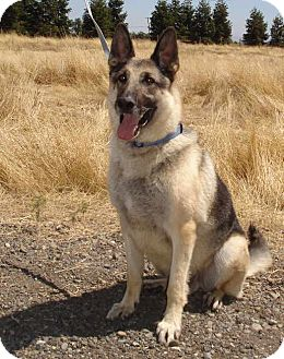 German Shepherd Dog Dog for adoption in Pleasant Grove, California - Roadie