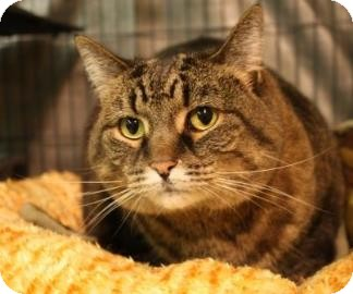 Domestic Shorthair Cat for adoption in West Des Moines, Iowa - Bella
