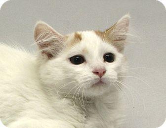 Domestic Mediumhair Cat for adoption in Yorba Linda, California - Tango