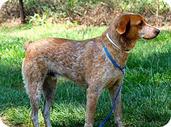 Australian Cattle Dog/Pointer Mix Dog for adoption in Media, Pennsylvania - FLYNN