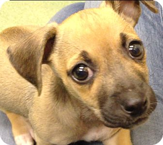 Chihuahua Mix Puppy for adoption in Los Angeles, California - Lennox *VIDEO*