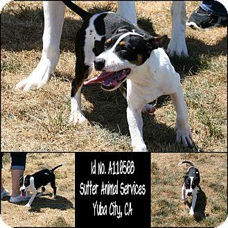 Treeing Walker Coonhound Mix Puppy for adoption in Yuba City, California - 05/02 Tessa