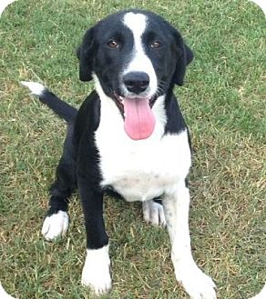 Border Collie/Labrador Retriever Mix Dog for adoption in knoxville, Tennessee - SYLVESTER