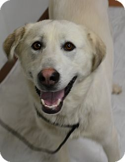 Labrador Retriever/Great Pyrenees Mix Dog for adoption in Fruit Heights, Utah - Ally