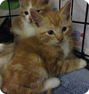 Domestic Shorthair Kitten for adoption in East Brunswick, New Jersey - Cody