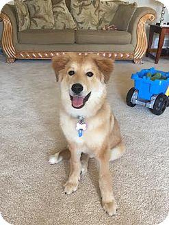 Golden Retriever/Collie Mix Puppy for adoption in Sugar Grove, Illinois - Bastian