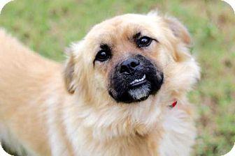 Spaniel (Unknown Type)/Pekingese Mix Dog for adoption in Salem, New Hampshire - BANJO