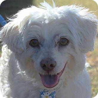 Bichon Frise Mix Dog for adoption in La Costa, California - Truman