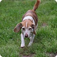 Beagle Dog for adoption in Herndon, Virginia - Poppy