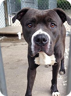Terrier (Unknown Type, Medium)/American Pit Bull Terrier Mix Dog for adoption in Fulton, Missouri - Beethoven- Ohio