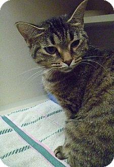 Domestic Shorthair Cat for adoption in Hamburg, New York - Sabrina