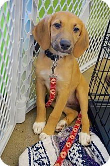 Beagle Mix Puppy for adoption in Rexford, New York - Trixie