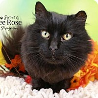 Adopt A Pet :: Simone - Sterling Heights, MI