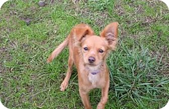 Chihuahua Mix Puppy for adoption in Seattle, Washington - Pickles