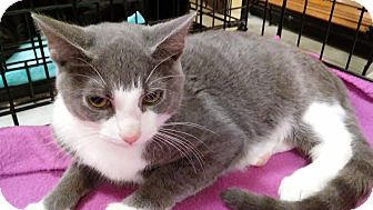 Domestic Shorthair Kitten for adoption in Columbus, Ohio - Biscuit