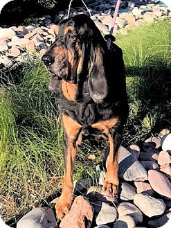 Bloodhound Dog for adoption in Dallas, Texas - Simply Luke