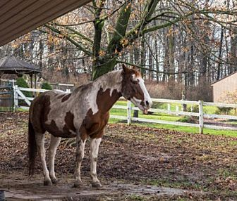 Pony - Other for adoption in Birdsboro, Pennsylvania - Buck