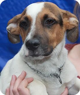 Jack Russell Terrier Mix Puppy for adoption in Beacon, New York - Rascal
