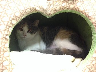 Calico Cat for adoption in Byron Center, Michigan - Melody